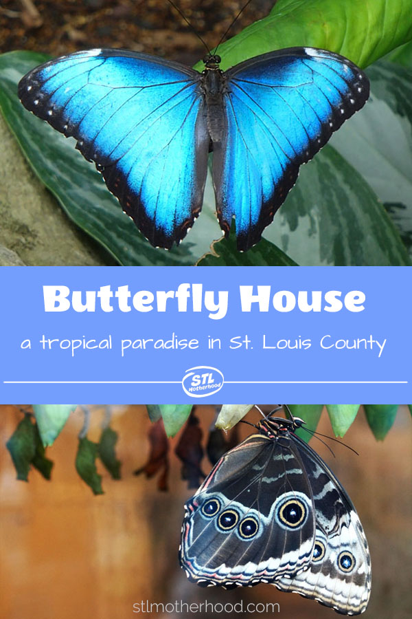 The Butterfly House in St. Louis County is a real jewel! Come visit 1000's of butterflies in a natural setting.