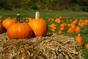 st. louis pumpkin patches