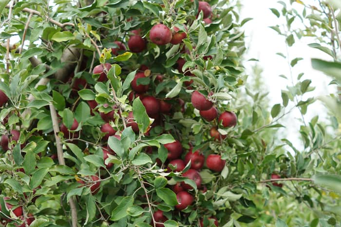 Branch loaded with ripe red apples at Eckert's farm