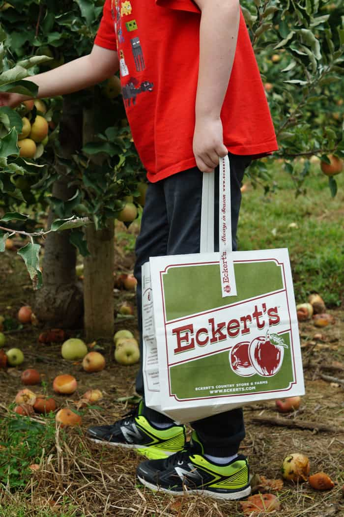 boy in red shirt picks apples, holding bag with Eckert's farm logo
