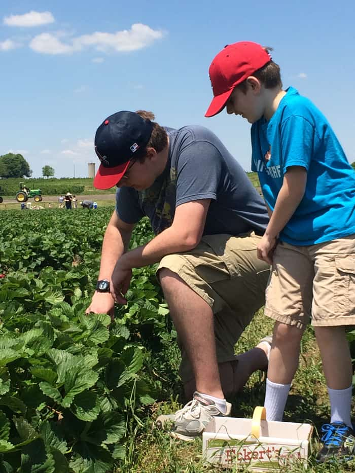 Brother's pick strawberries together at Eckert's farm