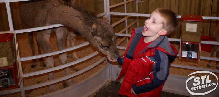kid laughing as he feeds a baby camel at the Way of Lights