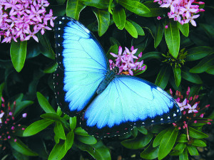 Butterfly House Morpho Mania!