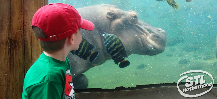 Kid in red hat watching the hippos at the St. Louis Zoo where there's no admission fee