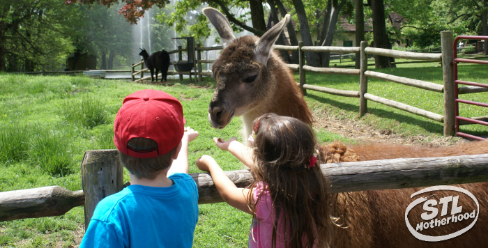 A boy and girl offer a llama feed from their hands.