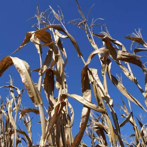 Great Godfrey Corn Maze is Wicked