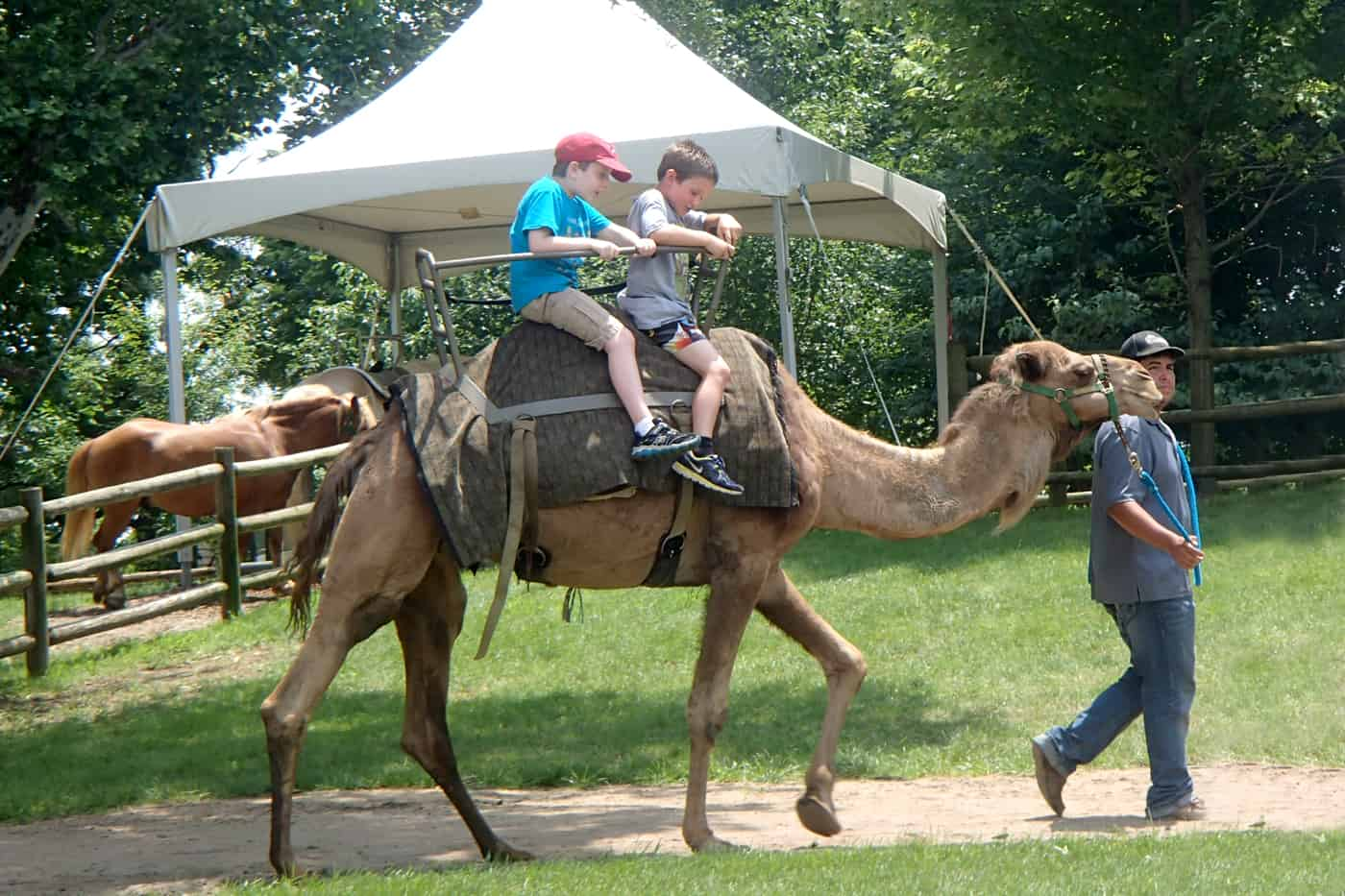 kids on camel ride at Grants Farm
