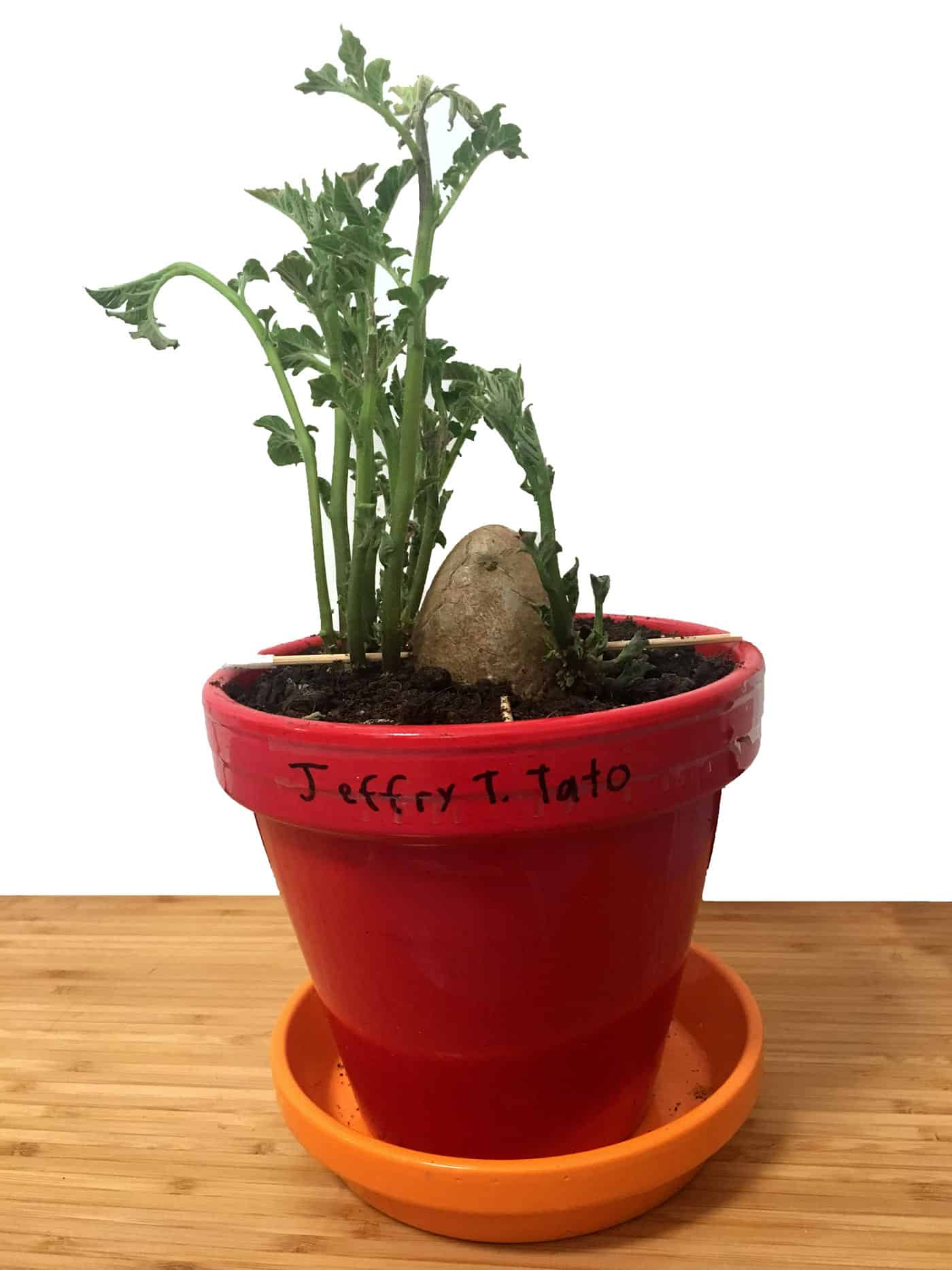 Jeffry the (po)Tato is a potato Mitch is trying to grow into a plant!