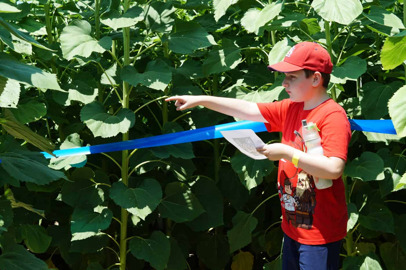 kid in red shirt standing in a sunflower maze points the way out at Eckert's farm