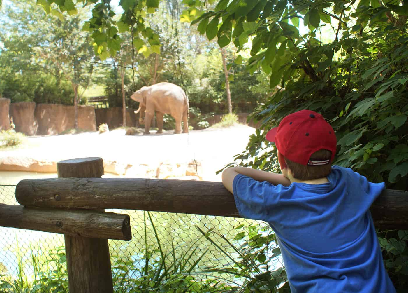 kid watching elephants at the St. Louis Zoo