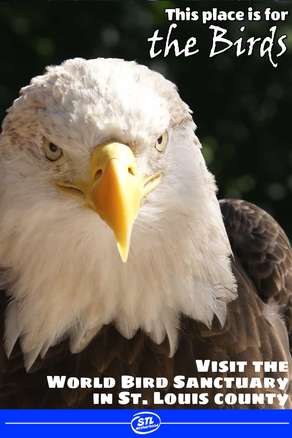 bald eagle looking right at you