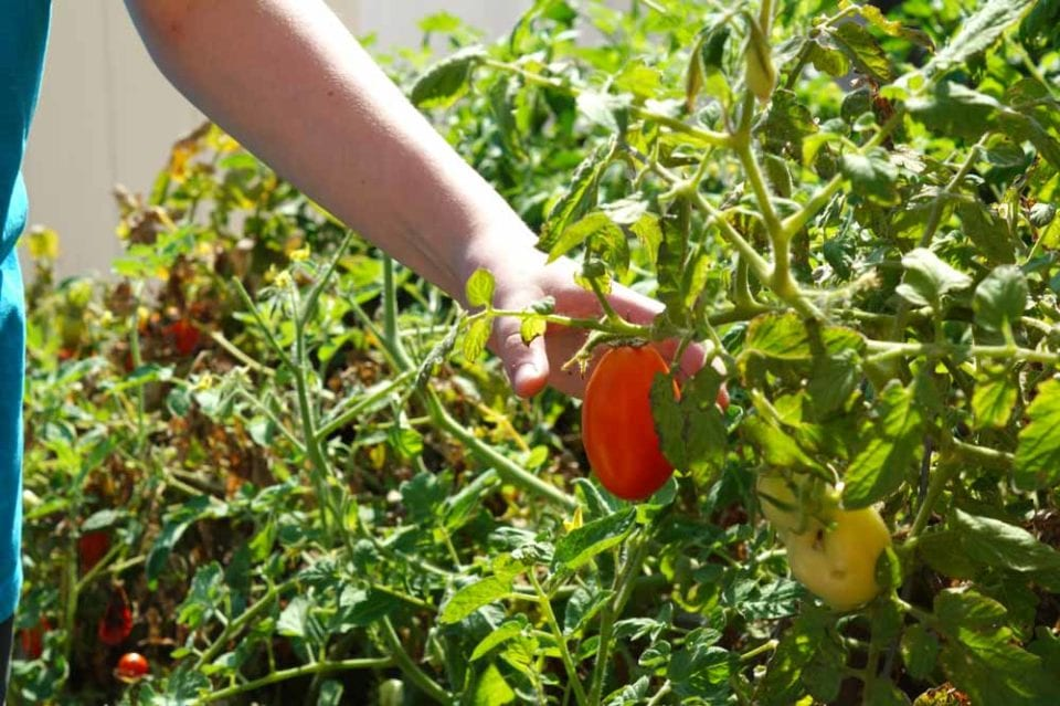 child picking a red ripe tomato in a school garden