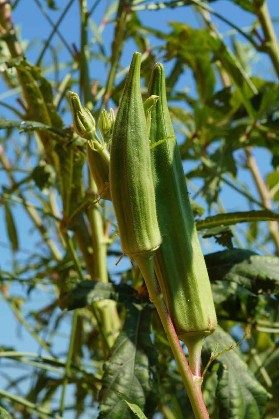 okra growing at a school garden