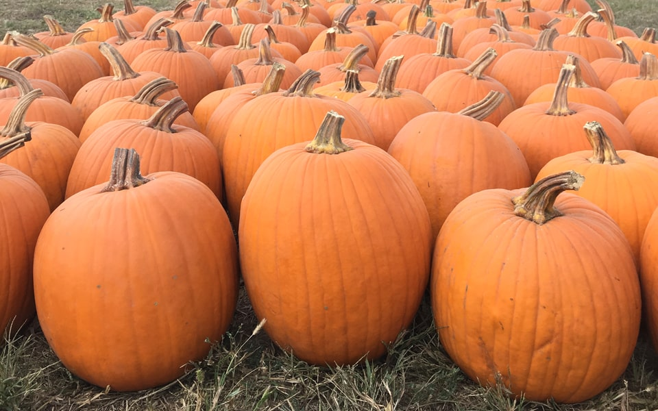 Dozens of large pumpkins for sale at a St. Louis pumpkin patch