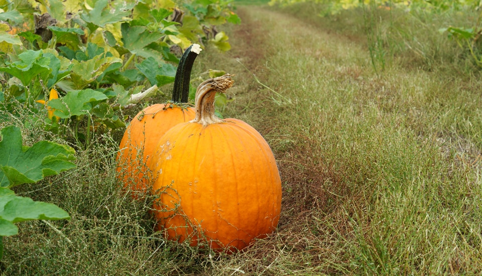 St. Louis pumpkin patches: two pumpkins in a field