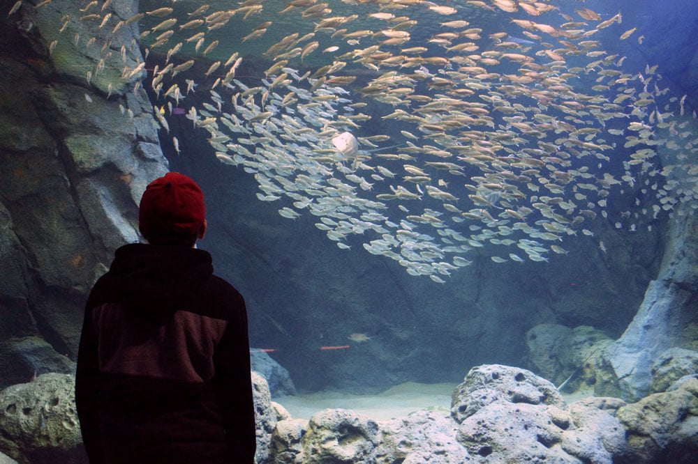 kid looks at schooling fish at the St. Louis aquarium