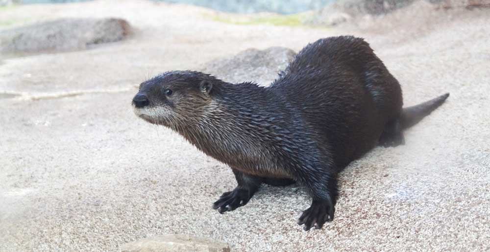 river otter at the St. Louis aquarium