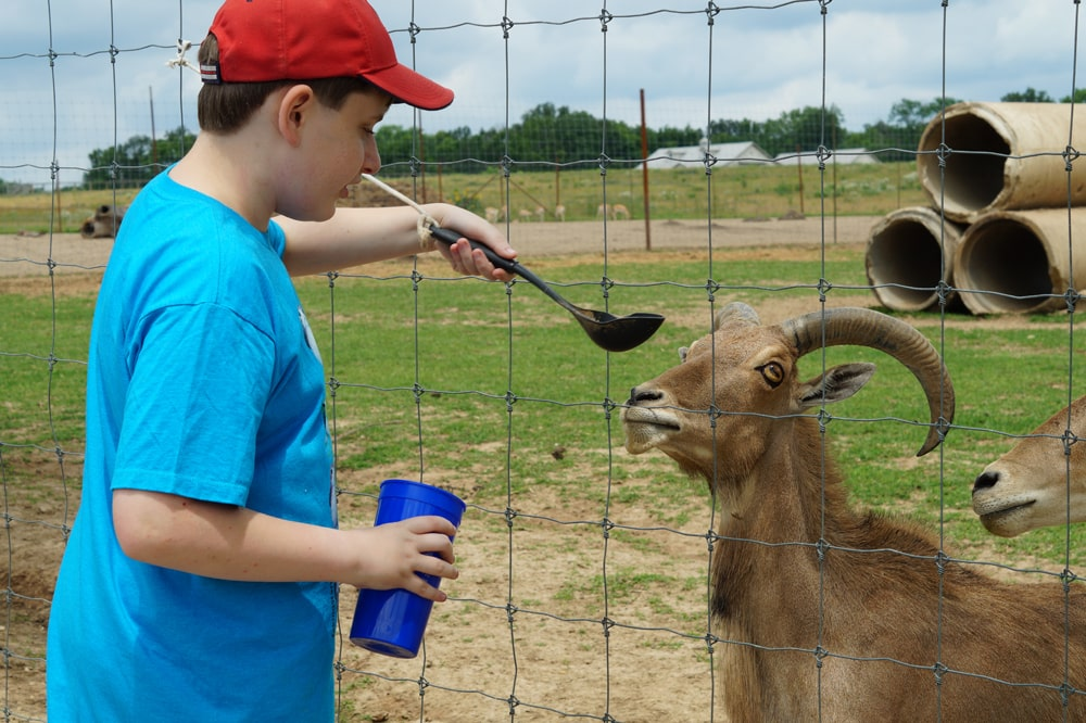 kid in blue shirt spoon feeding a large goat.